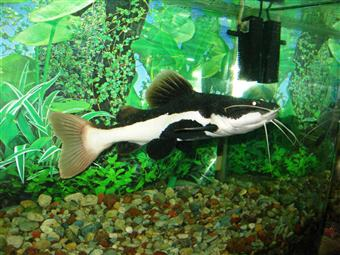 Red-tail Catfish